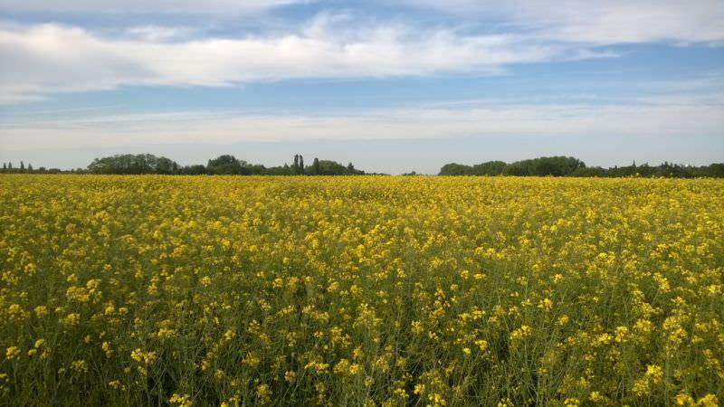 Rapsfeld in voller Blüte.