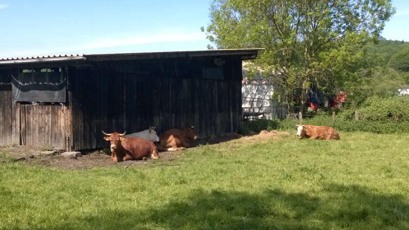 Kühe halten Siesta.