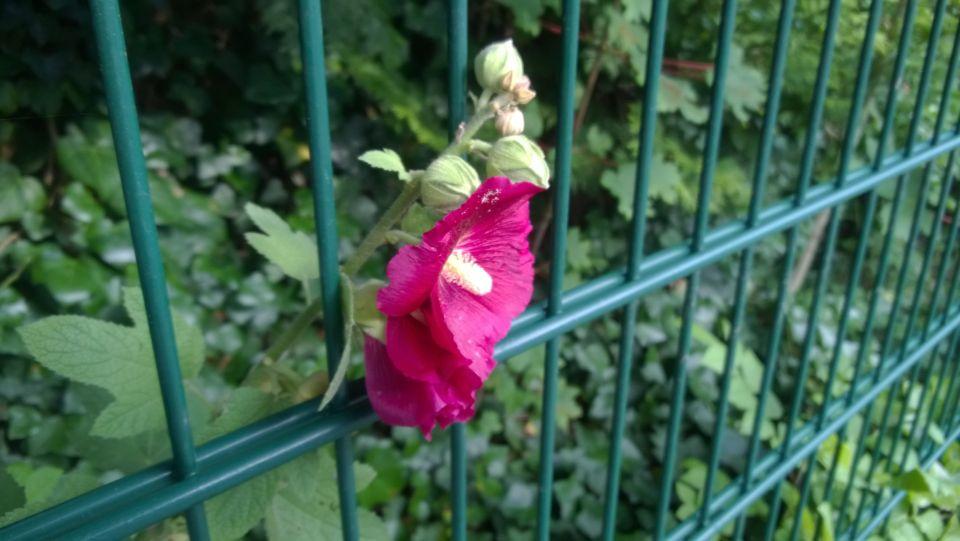Eine einzelne fliederfarbene Blüte die durch einen Metallgitterzaun blüht.